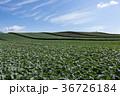 嬬恋のキャベツ畑 36726184