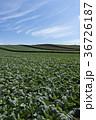 嬬恋のキャベツ畑 36726187