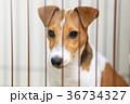 ゲージの中の犬 ジャックラッセルテリア 36734327
