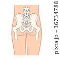 骨盤 お尻 骨格のイラスト 36734788