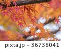 紅葉 もみじ 秋の写真 36738041