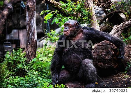 Portrait of big happy gorilla in forest 36740021