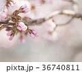 千島桜のつぼみ 36740811