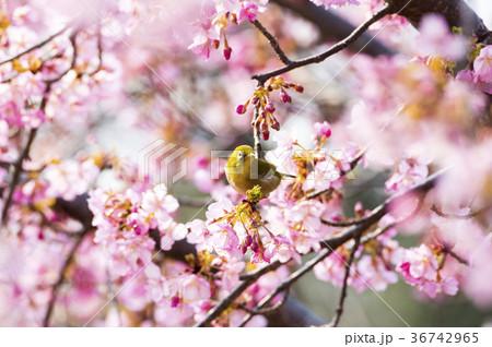 桜とメジロ 36742965