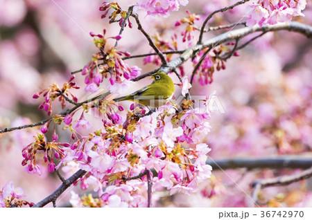 桜とメジロ 36742970