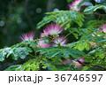 合歓木 ネムノキ 花の写真 36746597