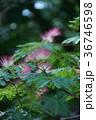 合歓木 ネムノキ 花の写真 36746598