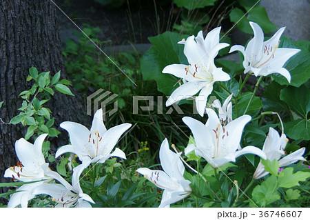 透百合 スカシユリ 花言葉は「神秘的な美」 36746607