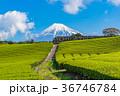 茶畑 富士山 静岡県の写真 36746784