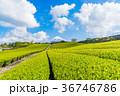 茶畑 富士山 静岡県の写真 36746786