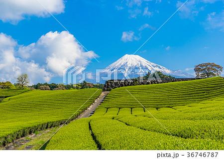 【静岡県】富士山と茶畑 36746787