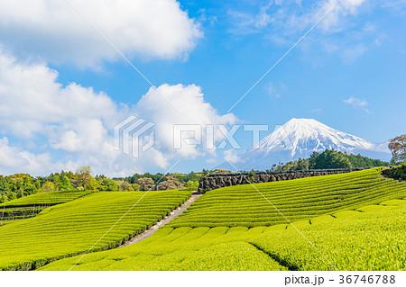 【静岡県】富士山と茶畑 36746788