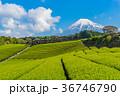 茶畑 富士山 静岡県の写真 36746790