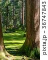 平泉寺白山神社 苔 林の写真 36747843