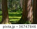 平泉寺白山神社 苔 林の写真 36747846