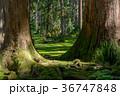 平泉寺白山神社 苔 林の写真 36747848