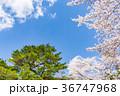 【山梨県】桜の木 36747968
