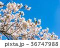【山梨県】桜の木 36747988