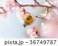 河津桜とメジロ 36749787