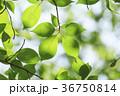 新緑 葉 若葉の写真 36750814