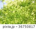 新緑 葉 若葉の写真 36750817