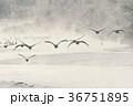 丹頂鶴 タンチョウ 鶴の写真 36751895