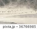 タンチョウ 鶴 丹頂鶴の写真 36766985