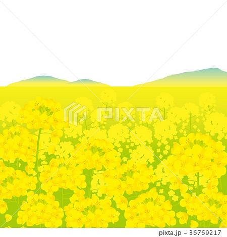 菜の花畑 背景イラストのイラスト素材 36769217 Pixta