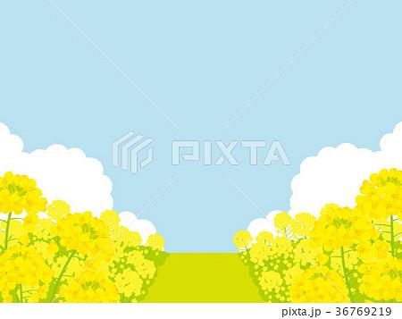 菜の花畑 背景イラスト 36769219