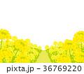 菜の花畑 背景イラスト 36769220