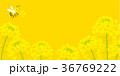 ミツバチと菜の花 背景イラスト 36769222
