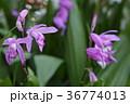 シラン 花 植物の写真 36774013
