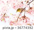 河津桜 桜 鳥の写真 36774392