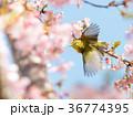 河津桜 桜 鳥の写真 36774395