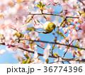 河津桜 桜 鳥の写真 36774396