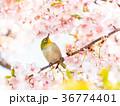河津桜 桜 鳥の写真 36774401