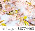 河津桜 桜 鳥の写真 36774403