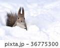 雪の中のエゾリス 36775300