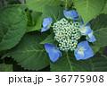 植物 花 アジサイの写真 36775908