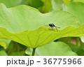 ハス 葉 シオカラトンボの写真 36775966