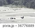 鶴 タンチョウ 丹頂鶴の写真 36776889