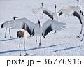 タンチョウ 鶴 北海道の写真 36776916
