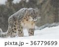 雪のユキヒョウ 36779699