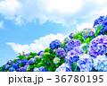 紫陽花 花 開花の写真 36780195