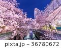 夜桜 目黒川 夜景の写真 36780672