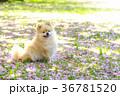 犬 ポメラニアン 散歩の写真 36781520