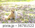 犬 ポメラニアン 散歩の写真 36781522
