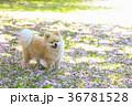 犬 ポメラニアン 散歩の写真 36781528
