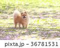 犬 ポメラニアン 散歩の写真 36781531