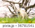 犬 ポメラニアン 春の写真 36781541